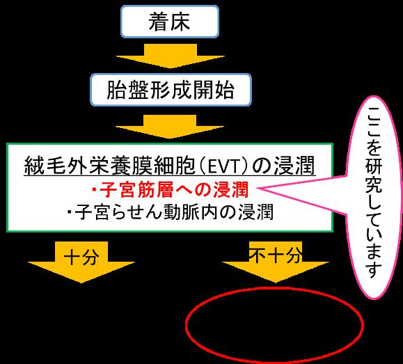 絨毛外栄養膜細胞(EVT)が子宮筋層へ浸潤